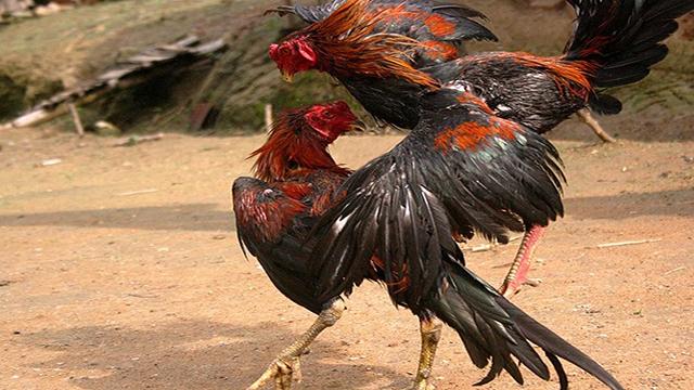 Deposit Sabung Ayam Online Termurah