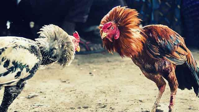 Situs Judi Sabung Ayam Terpopuler Di Indonesia